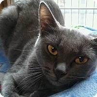 Adopt A Pet :: Valentine (pure blue Burmese) - Witter, AR