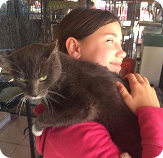 Domestic Shorthair Cat for adoption in Gilbert, Arizona - Autumn