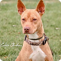 American Pit Bull Terrier Mix Dog for adoption in Zanesville, Ohio - Rudy - Urgent!