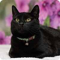 Domestic Shorthair Cat for adoption in Houston, Texas - Chastity