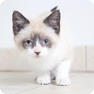 Siamese Cats To Adopt Near Me