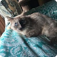 Adopt A Pet :: Ying - Addison, IL