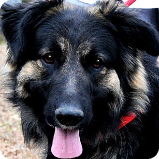 leonberger german shepherd mix serena she deserved better adopted dog wakefield 8491
