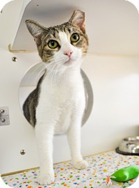 Domestic Shorthair Cat for adoption in Bradenton, Florida - Toby