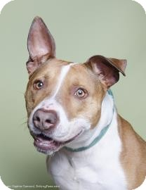 American Pit Bull Terrier Mix Dog for adoption in Brooklyn, New York - Sophia
