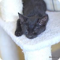 Adopt A Pet :: Black Ice - Island Park, NY