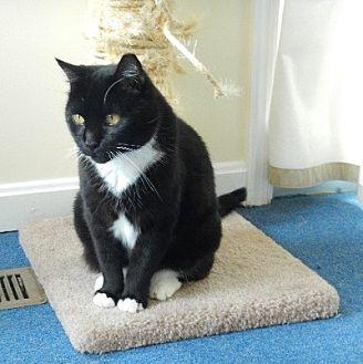 Domestic Mediumhair Cat for adoption in Alexandria, Virginia - Cleo