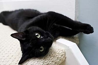 Domestic Shorthair Cat for adoption in Bryn Mawr, Pennsylvania - Vlad/Smart, Loves to Talk