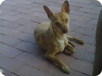 Chihuahua Mix Dog for adoption in Rio Rancho, New Mexico - Slim