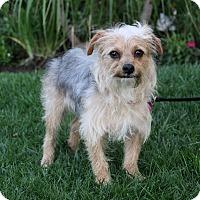 Adopt A Pet :: ROMAN - Newport Beach, CA