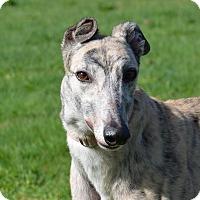 Adopt A Pet :: Lilo - Portland, OR