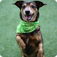 Adopt A Pet :: Darcie - Lakeland, FL