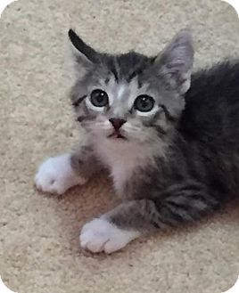 Domestic Shorthair Kitten for adoption in Grand Ledge, Michigan - Laysha