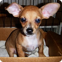 Adopt A Pet :: Dinkie - Mansfield, TX