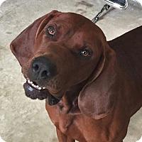 Adopt A Pet :: Swagger - Wakefield, RI