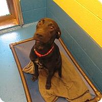 Labrador Retriever Mix Dog for adoption in Delta, Colorado - Marta