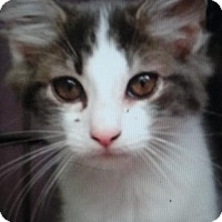 Norwegian Forest Cat Kitten for adoption in Devon, Pennsylvania - LA-Louie (courtesy post)