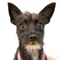 Adopt A Pet :: Max Terrier - Los Angeles, CA