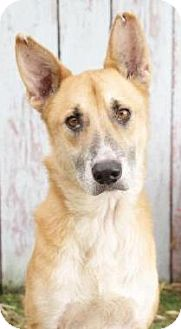 German Shepherd Dog/Collie Mix Dog for adoption in Inverness, Florida - Roscoe