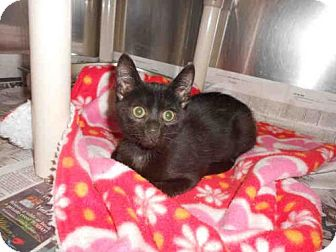 Domestic Mediumhair Kitten for adoption in Pittsburgh, Pennsylvania - JOHNNY ON THE SPOT
