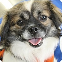 Adopt A Pet :: Topaz Peke Chin - Norwalk, CT