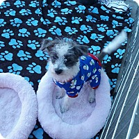 Terrier (Unknown Type, Small)/Terrier (Unknown Type, Small) Mix Puppy for adoption in La Verne, California - Ripley
