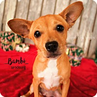 Miniature Pinscher/Corgi Mix Puppy for adoption in San Antonio, Texas - Bambi