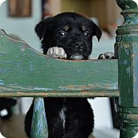 Adopt A Pet :: Humphrey - San Antonio, TX