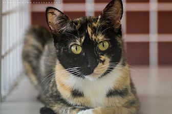 Calico Cat for adoption in Houston, Texas - JUNO