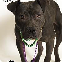 Adopt A Pet :: Romeo - Baton Rouge, LA