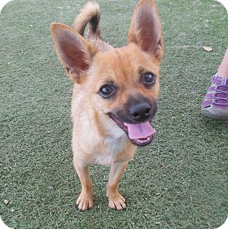 Chihuahua Mix Dog for adoption in Phoenix, Arizona - Taco