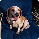 Adopt A Pet :: Chelsea SWEETEST Beagle!
