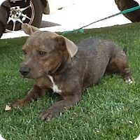 Yorkie, Yorkshire Terrier/Dachshund Mix Dog for adoption in Bakersfield, California - Spike