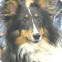 Adopt A Pet :: Bandit (tri) - Circle Pines, MN