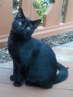 Domestic Shorthair Cat for adoption in Kohler, Wisconsin - Katie