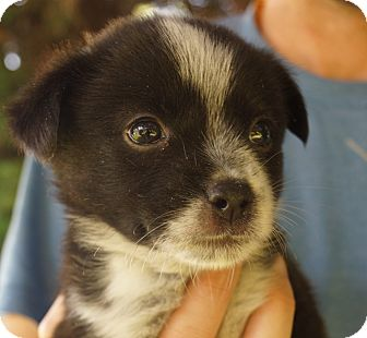 boston terrier pomeranian mix pet not found 7851