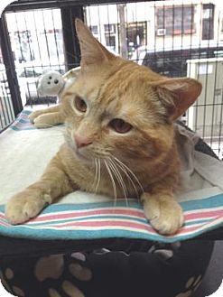 Domestic Shorthair Cat for adoption in Queens, New York - Charlie