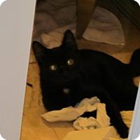 Adopt A Pet :: 'Mr Black'10 - New York, NY