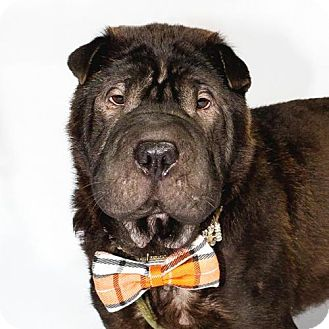 Shar Pei Dog for adoption in St. Louis Park, Minnesota - Walrus
