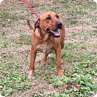 Adopt A Pet :: Thunder (Pom-Ec) - Plainfield, CT