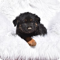Adopt A Pet :: Sheriff - Groton, MA