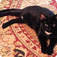 Adopt A Pet :: Meow Meow - Youngsville, NC