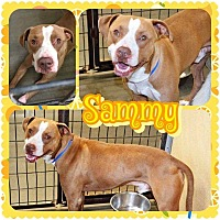 Pit Bull Terrier/Labrador Retriever Mix Dog for adoption in Fallbrook, California - Sammy