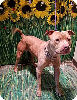 Pit Bull Terrier Mix Dog for adoption in West Babylon, New York - Rocky