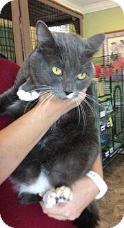 Domestic Shorthair Cat for adoption in Breinigsville, Pennsylvania - Dorney