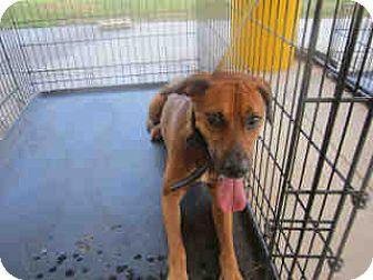 Black Mouth Cur Mix Dog for adoption in Newnan City, Georgia - Clifford