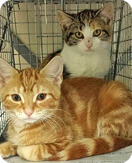Domestic Shorthair Kitten for adoption in Brooklyn, New York - Darla and Rory, Adorable Angels