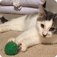 Domestic Shorthair Kitten for adoption in Carlisle, Pennsylvania - Charlie