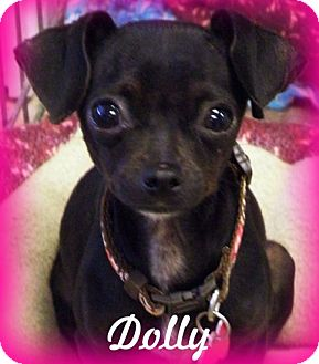 Chihuahua Mix Dog for adoption in Anaheim Hills, California - Dolly