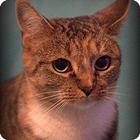 Adopt A Pet :: Snookie - Spring Valley, NY